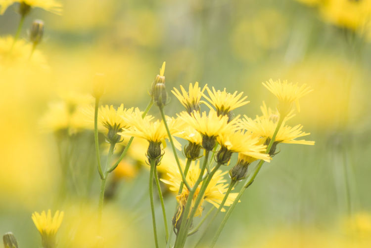 Close-up of yellow flowers blooming in field