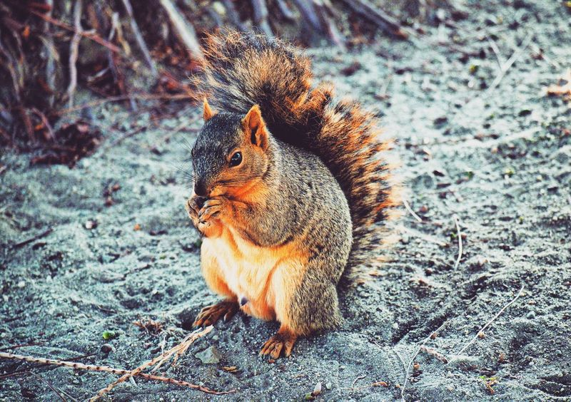 Animal Themes One Animal Rodent Squirrel Animals In The Wild No People Eating Close-up Mammal Outdoors Animal Wildlife Full Length Nature Day Squirrel Squirrels Squirrel Eating Filmlook Squirrel Closeup Greysquirrel