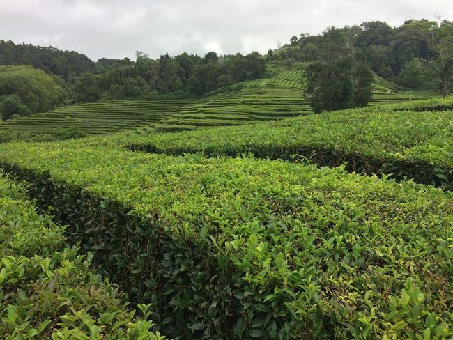 Agriculture Nature Growth Beauty In Nature Green Color Tea Crop No People Day