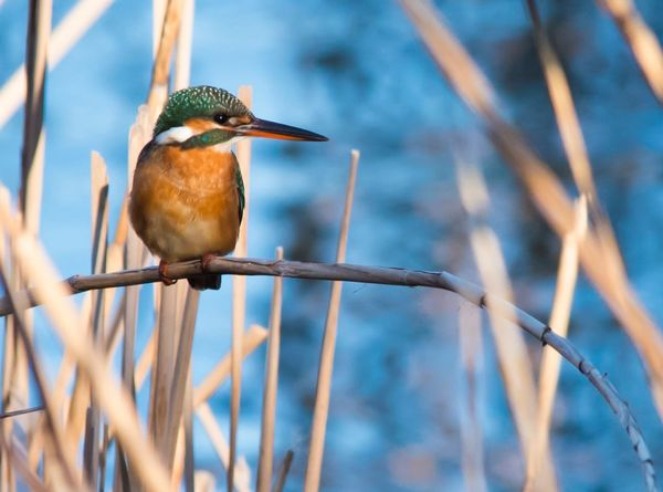 One Animal Animals In The Wild Animal Themes Bird Animal Wildlife Focus On Foreground Perching Kingfisher Day No People Nature Outdoors Beauty In Nature Close-up