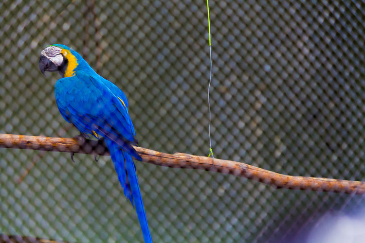 Birds one in blue r the most vibrant and the most loveable ...Bird One Animal Blue Perching Cage Animal Themes Animal Wildlife Animals In The Wild Beauty In Nature Parrot Macaw Trapped No People Nature Outdoors Day Gold And Blue Macaw Close-up Tree Green Color Focus On Foreground Building Exterior EyeEm Selects Nature Animals In The Wild