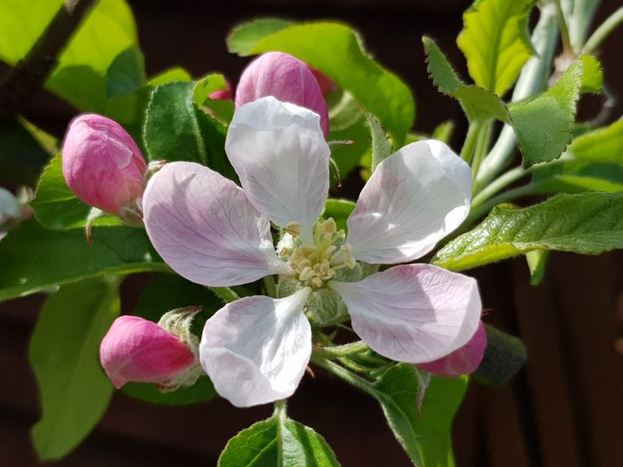 Apple Flower Flower Head Flower Petal Pink Color Leaf Close-up Plant Flowering Plant Stamen Pistil Apple Blossom Apple Tree Plant Life In Bloom