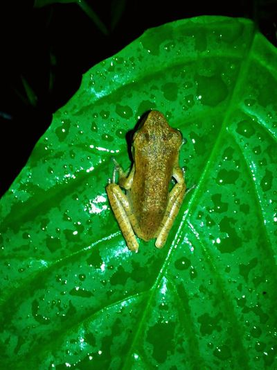 Beauty In Nature Animal Photography Animals Nature In The Night From The Point Of My View Indonesian Street (Mobile) Photographie Animal Themes Eyem Nature Lovers  Natures Diversities Animal Nature Photography Animals In The Wild Macro Nature Frog Frogs