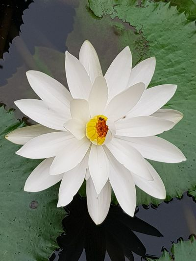 lotus Flower Petal Flower Head Beauty In Nature Water Lily Nature Fragility
