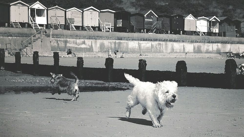 Dogs Running  in Opposite Directions On The Beach Dogs Dogs At The Beach Dogs At The Seaside West Highland White Terrier Westie Minitureschnauzer Schnauzer At The Beach Beach Beach Huts Seaside British Seaside Black And White Black & White Black And White Photography Black & White Photography Frinton-on-Sea United Kingdom Nikon D3200