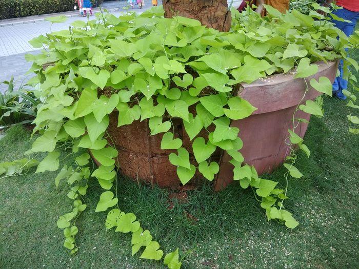 Green Color Garden Creaper Leaves Freshness Morning Nature