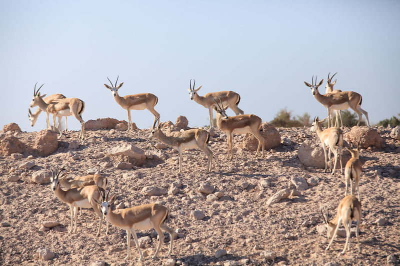Large group of antelopes in the wild