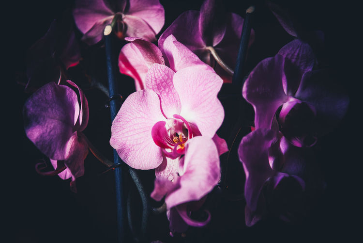 Purple Orchids 2 Flowering Plant Petal Flower Vulnerability  Plant Fragility Freshness Flower Head Beauty In Nature Inflorescence Growth Close-up Nature Pink Color No People Purple Indoors  Pollen Orchid Black Background Light And Darkness  Melancholy Details Inspiration Flower Photography