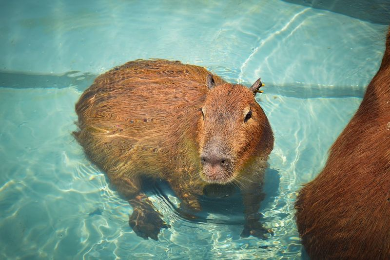 High angle view of capybara in swimming pool