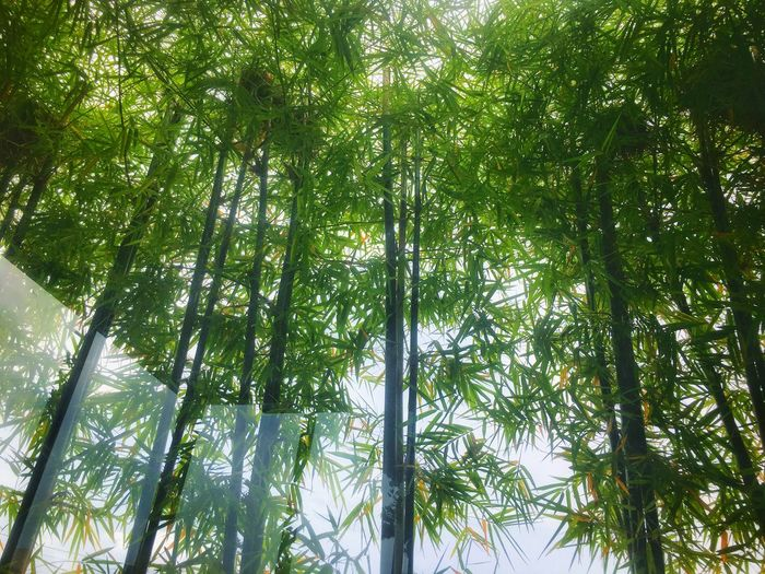 Green bamboo tree with mirror reflection. Tree Plant Low Angle View Growth Green Color Beauty In Nature Nature Forest Leaf Bamboo - Plant No People Branch Day Outdoors