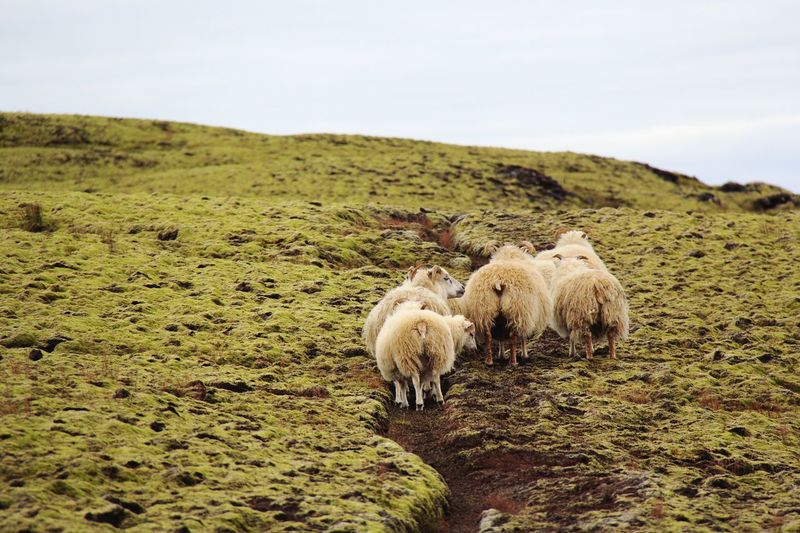 Sheep Domestic Animals Mammal Landscape Nature No People Grazing Moss Iceland Outdoors Travels Travel Destinations Livestock Animal Themes Field Beauty In Nature Cattle Grass Scenics Day Sky