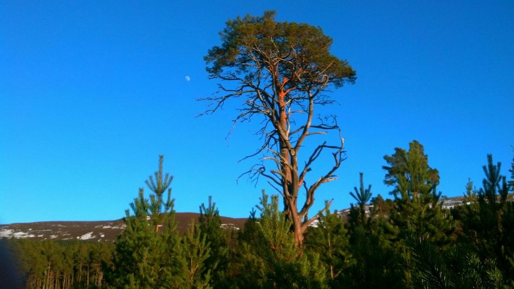 Cairngorms, Scotland  Mountain_collection Nature_collection Blue Sky Pine Trees Scotspine Moon Glorious Wilderness Scottish Highlands