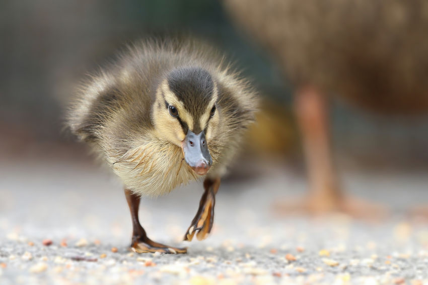 Mallard Duckling Animal Wildlife Animals In The Wild Bird Close-up Day Focus On Foreground Front View Full Length Gosling Land Nature No People One Animal Outdoors Vertebrate Walking Young Animal Young Bird