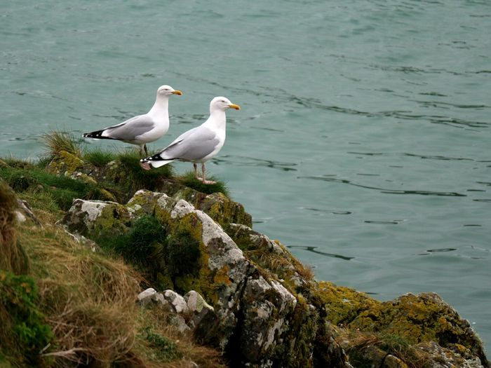 Seagulls Seagull Seagulls Seagulls And Sea Shoreline Rock - Object Bird Animal Wildlife Animals In The Wild Two Birds No People Perching Day Animal Themes Outdoors Living Organism Union Hall West Cork Wildatlanticway Ireland