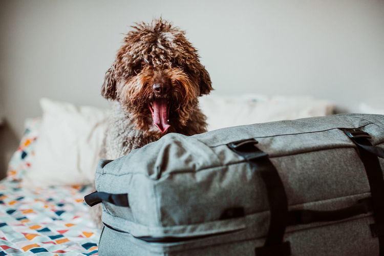Portrait of dog sitting by luggage on bed at home