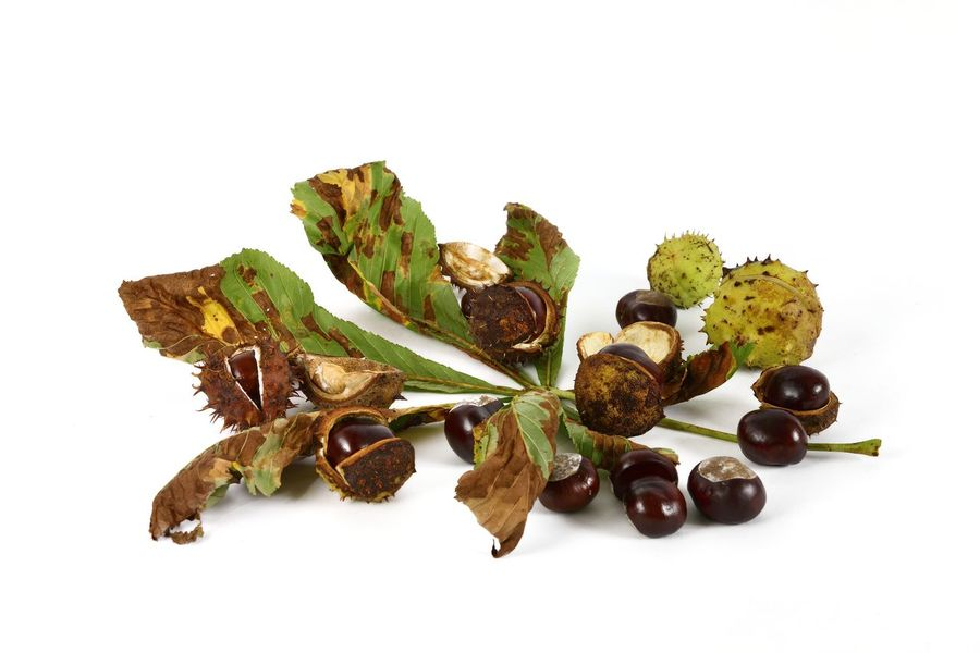 Chestnut Autumn Chestnut Isolated Close-up Cut Out Food No People Studio Shot White Background