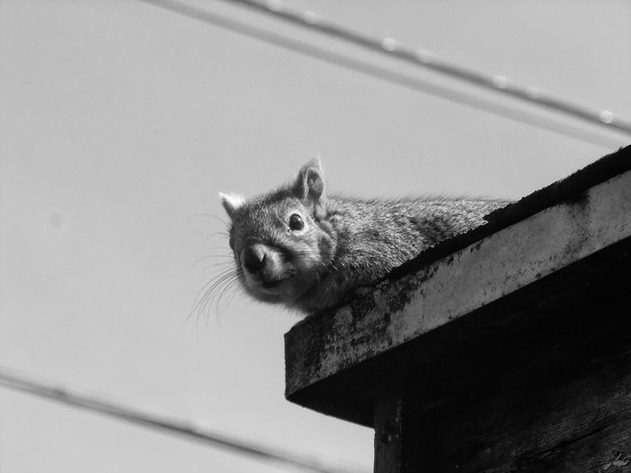 Squirrel gazing down from edge of roof