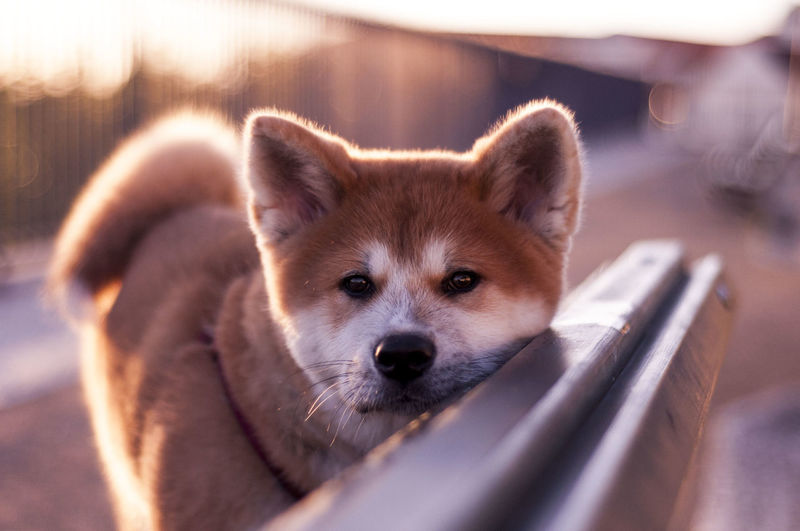Close-up portrait of akita puppy on bench during sunset