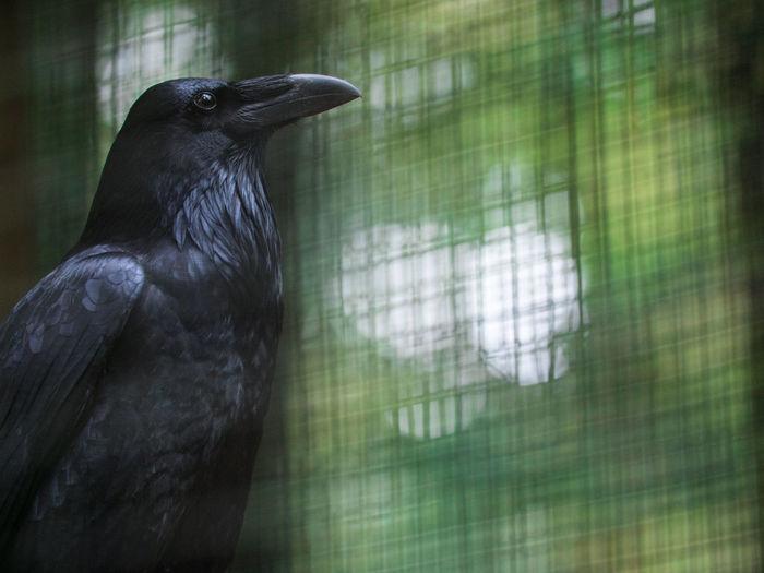 Audubon Society Portland Portland, OR Raven Bird Crow