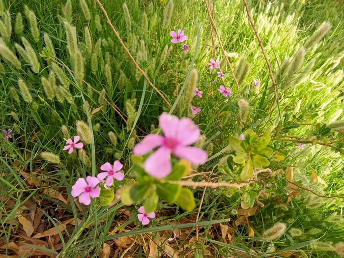 Close-up of pink flowering plants on land