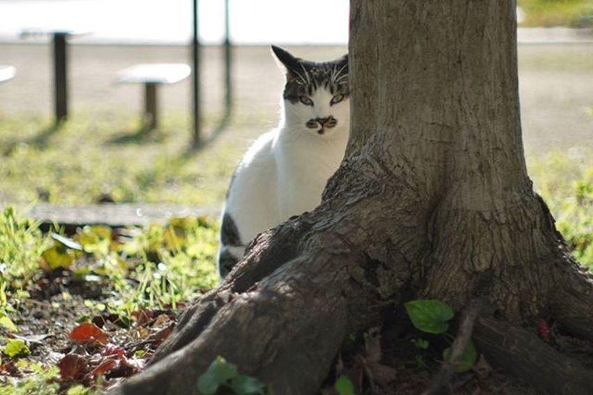 Oldlens GF2 Lumix Panasonic  Pentax Pentaxlens 50mmf2 Lumixgf2 M43 Cat のらねこ部 野良猫部 ノラネコ ルミックスgf2 ルミックス オールドレンズ オールドレンズ部 カメラ好きな人と繋がりたい 写真好きな人と繋がりたい ファインダー越しの私の世界 ミラーレス カメラ好き ペンタックス ペンタックスレンズ パナソニック ねこ部 猫 公園 お写んぽ お写ん歩