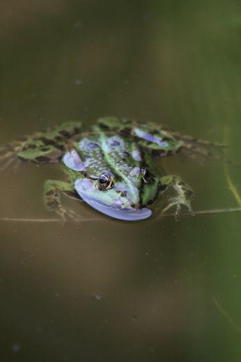 Küss mich ich bin ein verwunschener Prinz 🤴 Alligator Crocodile Frog