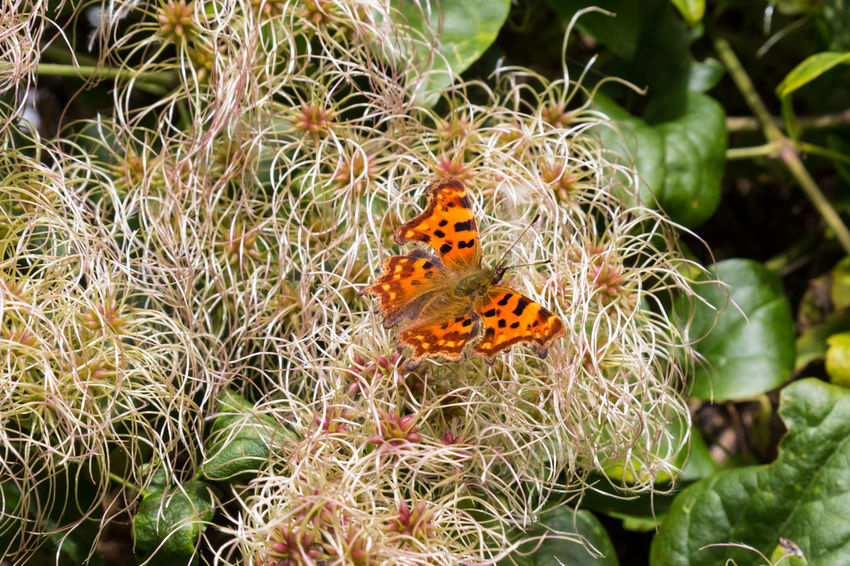 A Butterfly Nymphalidae Animal Themes Animal Wildlife Animals In The Wild Beauty In Nature Butterfly Butterfly - Insect Close-up Comma Comma Butterfly Day Flower Flower Head Fragility Freshness Growth Insect Leaf Nature No People One Animal Outdoors Perching Plant