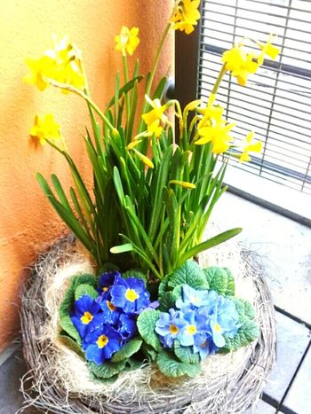 Dafodils Spring Flowers Blue And Yellow Flowers Flowers In A Pot