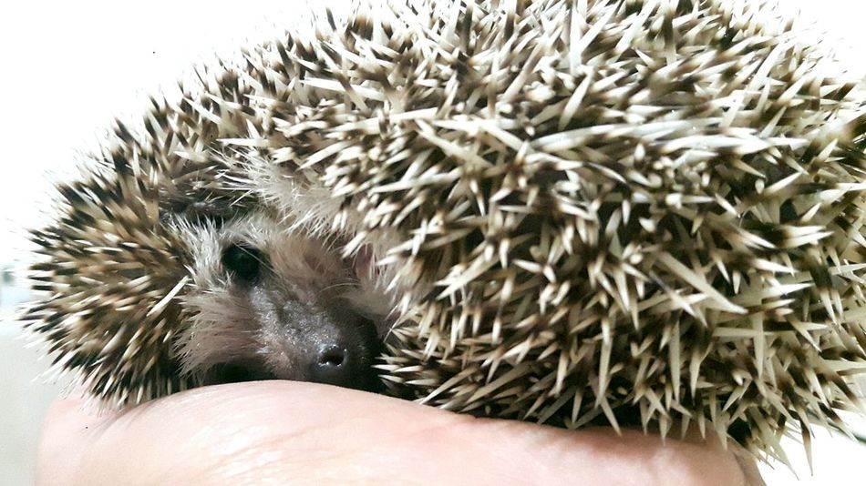 Human Hand Hedgehog Pets Animals Animal Love Erizo Mascota Ternura Cute Baby Shower Time Eyes Baño  Ojos Black Eyes Ojos Negros