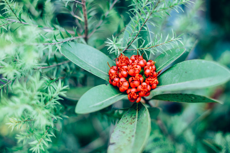 Backgrounds Beauty In Nature Botany Close-up Contrast Copy Space Flower Focus On Foreground Foliage Freshness Green Color Growth Leaf Nature Outdoors Plant Red Santo Simon Selective Focus