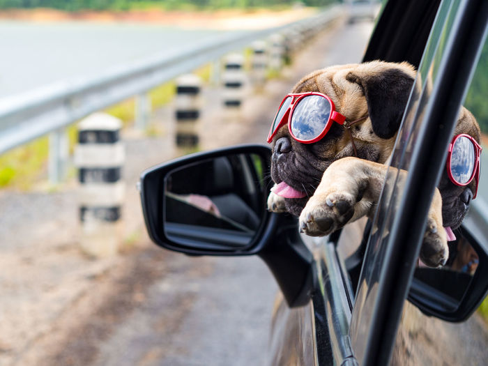 Pugs EyeEm Selects Dog Portrait City Car Pets Close-up Travel Vehicle Mirror Car Point Of View Side-view Mirror Road Trip Driving Parking Rear-view Mirror Car Interior Vehicle Interior