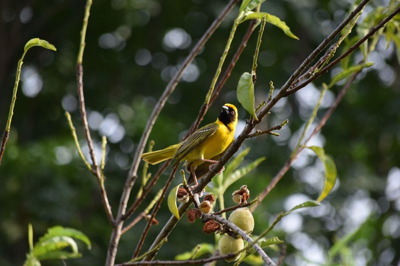 Yellow finch Bird Animals In The Wild Perching Animal Themes Animal Wildlife Tree One Animal Nature Focus On Foreground Branch Day Beauty In Nature Growth No People Yellow Outdoors South Africa Is Amazing South Africa Beauty In Nature Nature Hartebeespoort Harties