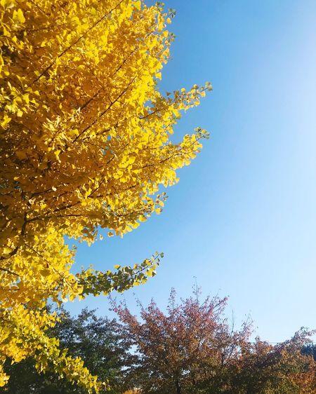 은행나무 Plant Sky