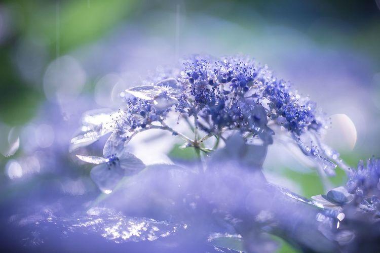 台風の匂いがしてきた・・・明日が心配。 雨の週末っていってたけど週末は台風一過になりそう? Flower Vulnerability  Fragility Flowering Plant Plant Beauty In Nature Purple Freshness Growth Nature Selective Focus Close-up No People Day Petal Outdoors Tranquility Sunlight Lavender Flower Head Springtime Lilac