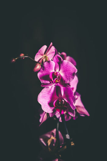 Purple Orchids 1 Flowering Plant Flower Plant Vulnerability  Fragility Petal Freshness Studio Shot Close-up Beauty In Nature Flower Head Inflorescence Growth Pink Color Black Background No People Copy Space Nature Indoors  Orchid Pollen Purple Indoors  Melancholy Light And Darkness
