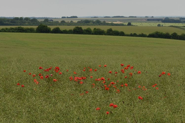 Scenic view of poppy field