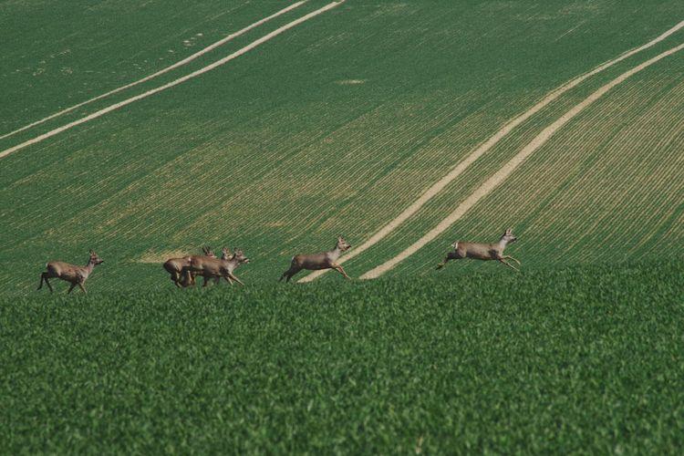 Deer in the green field