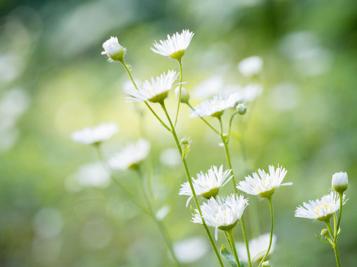 Flower Field Marierichphotography Olympus Beauty In Nature Blooming Bokeh Photography Close-up Day Flower Flower Head Fragility Freshness Growth Many Flowers Nature No People Outdoors Petal Plant Spring White Color Wild Flower