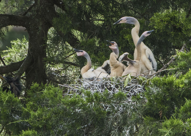 Anhinga Anhinga Anhinga Babies Animal Themes Animals In The Wild Bird Day Nature No People Only Mother Could Love Them Outdoors Tree Ugly Babies