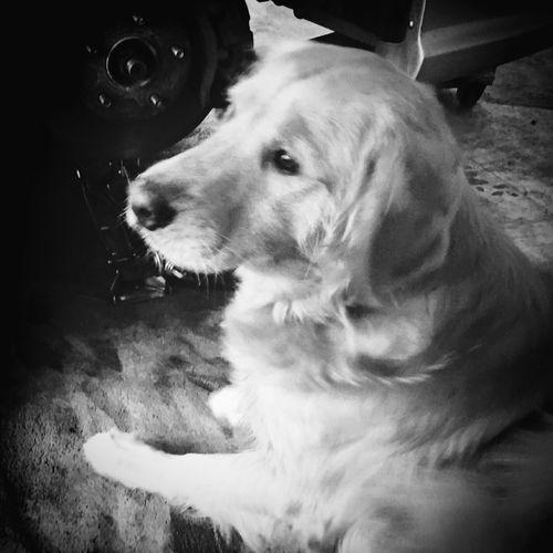Golden dog feel