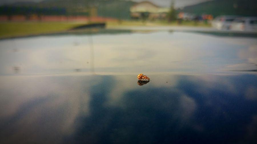Piggy Back Ride  Lazy Afternoon Lazy Ladybugs Photography Ladybug🐞