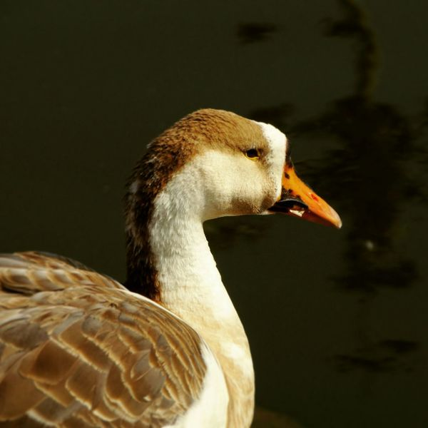 A Duck on Land Duck Face Waterlife Vhphotographies Eyecatching Duckhead