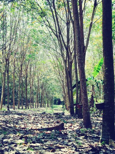 Tree Nature Outdoors Growth Day Beauty In Nature No People Rubber Tree