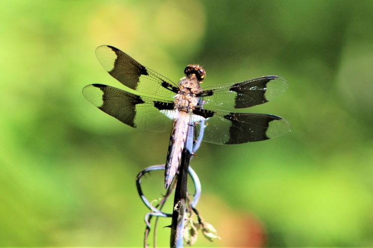 Natures living artwork. Animal Animal Themes Animal Wildlife Animal Wing Animals In The Wild Beauty In Nature Close-up Day Dragonfly Focus On Foreground Green Color Insect Invertebrate Nature No People One Animal Outdoors Plant Plant Stem Twig