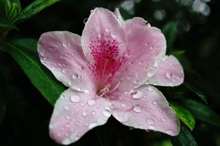 Pink hibiscus Drop Wet Water Petal Nature Growth Flower Pink Color RainDrop Flower Head Periwinkle Beauty In Nature