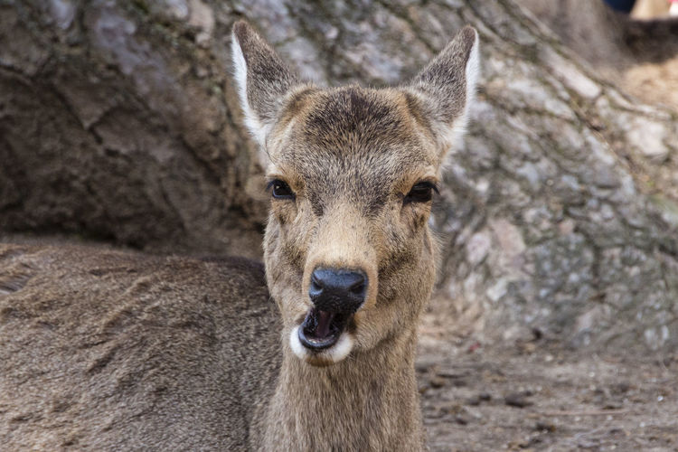 Chewing deer