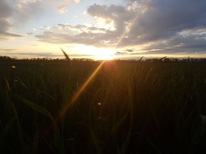 Sunset Nature Sun Sky Cloud - Sky Gold Colored Outdoors Sunlight Field Dramatic Sky Agriculture Rural Scene Sunbeam Landscape Scenics Growth Beauty In Nature No People Tranquility Cereal Plant