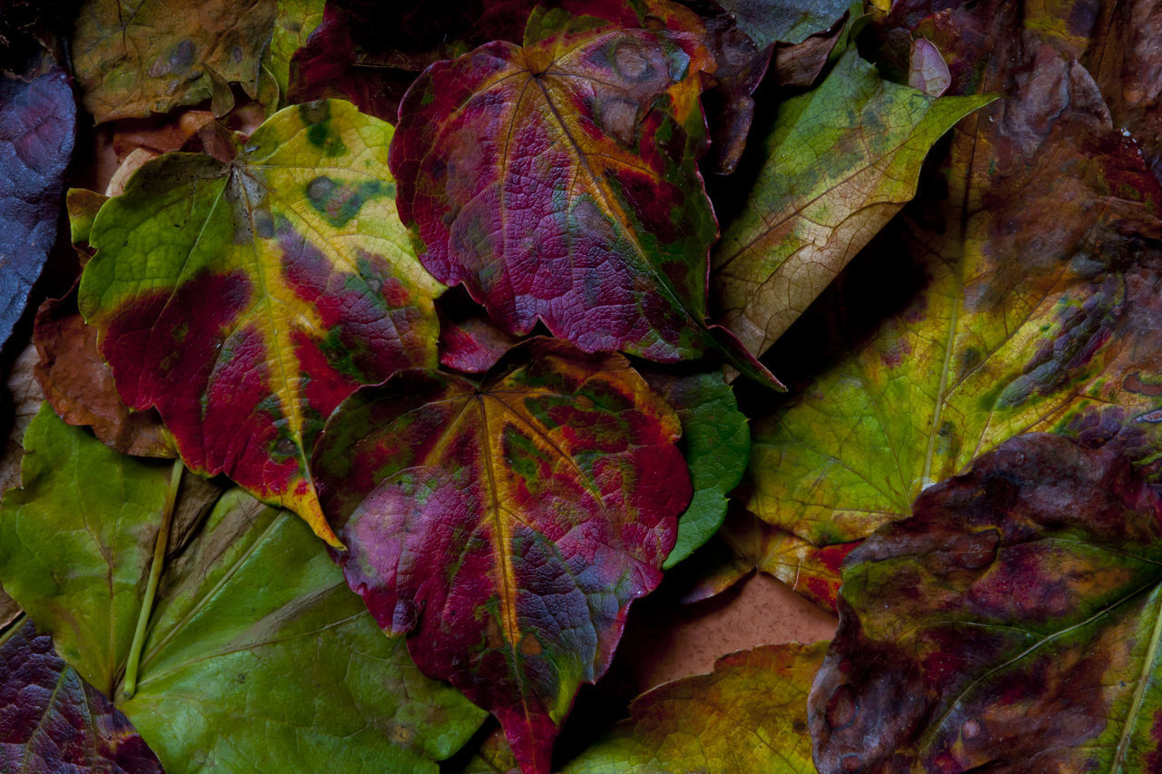 plant part, leaf, change, autumn, close-up, leaves, nature, beauty in nature, plant, no people, fragility, leaf vein, backgrounds, full frame, vulnerability, day, dry, outdoors, high angle view, maple leaf, natural condition, dried