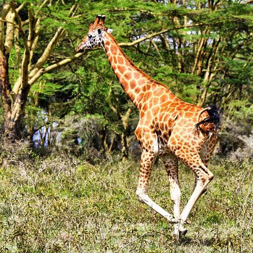 A Giraffe is a fast animal, this fellow reached a speed of 50km/h but it felt like 18km/h. This Rothschild Giraffe is one of the few left in the wild. They are cute! Giraffe LakeNakuru Kenya
