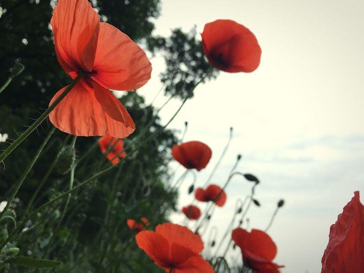 Flower Poppy Sky
